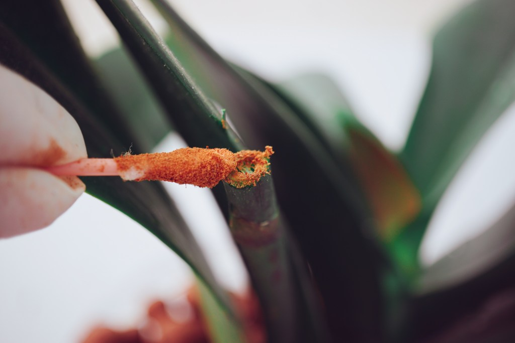 swabbing the orchid tip with cinnamon