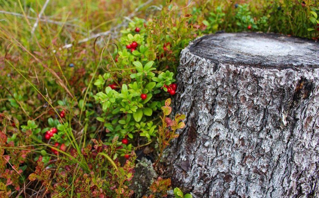 Brusinky v přírodě najdeme málokde tak hojně, abychom si na nich dosyta pochutnali