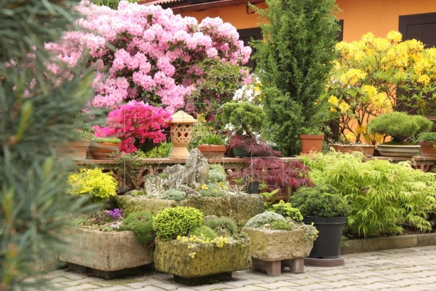 Zahrada září květy pěnišníků