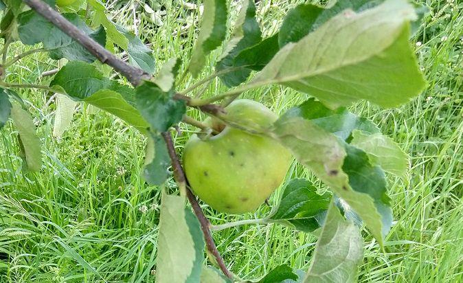 Jablka jsou častým cílem choroby zvané strupovitost