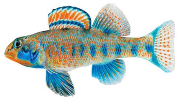 Obama-fish