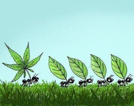fourmi-cannabis
