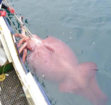 calamar geant