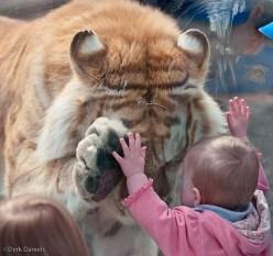 tigre enfant