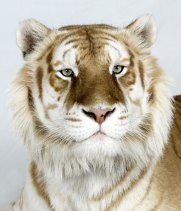 Bengal-tigers-Brahman-one-008