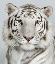 Bengal-tigers-Ganga-a-8-y-013