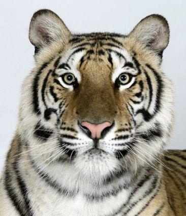 Bengal-tigers-Jannaki-a-2-002