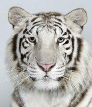 Bengal-tigers-Loka-a-2-ye-012