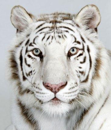 Bengal-tigers-Samasta-a-2-014