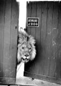 lion attention au chien