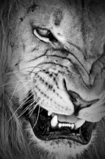 lion noir et blanc