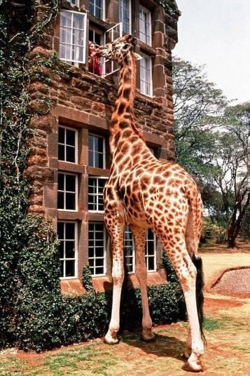 girafe maison etage