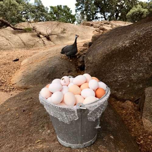 Huevos de Cobardes y gallinas