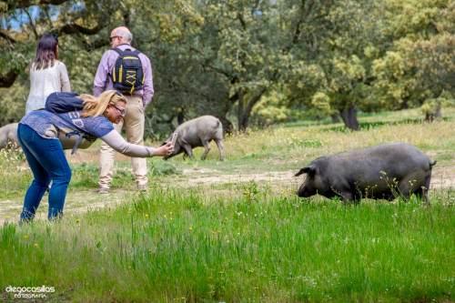 Fotografiando a los cerdos en Montanera
