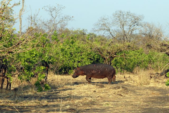 Kafue Bush Break - Hippopotamus in Kafue