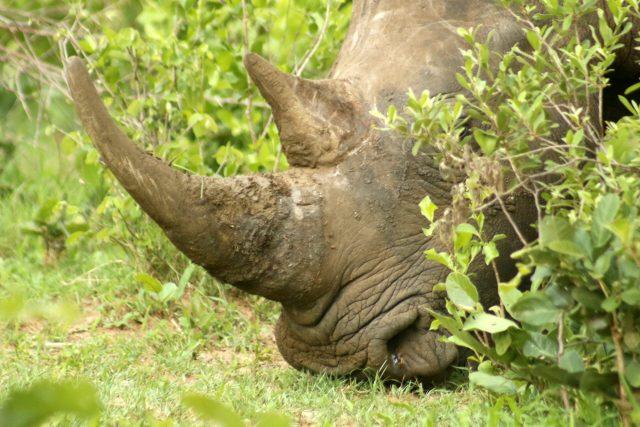 White Rhino tacking in Mosi-oa-Tunya NP