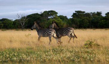 Zebras in Liuwa Plain