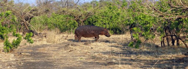 Hippopotamus in Kafue