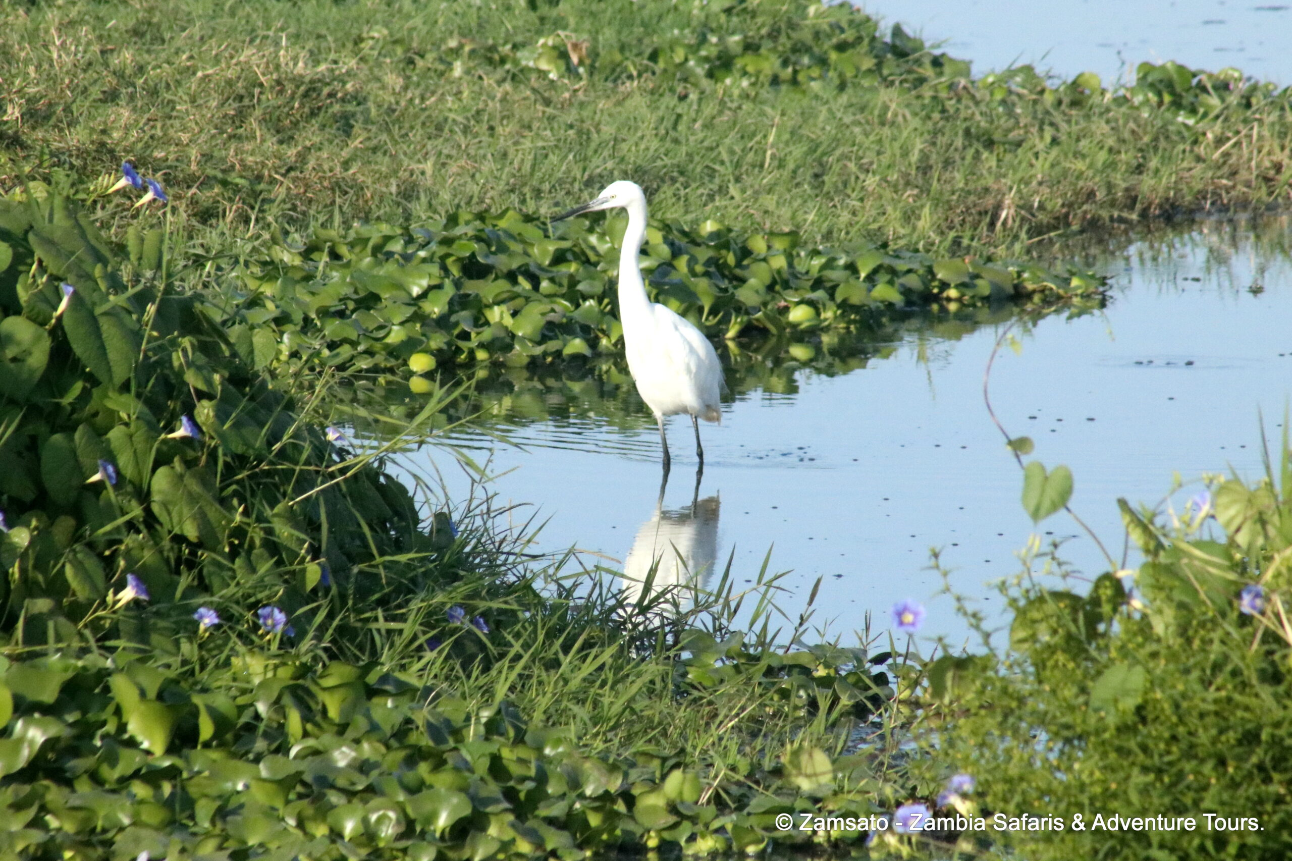 Birding by the ponds in Livingstone: Little Egret