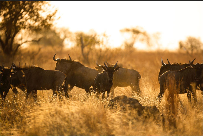 wildebeest calving