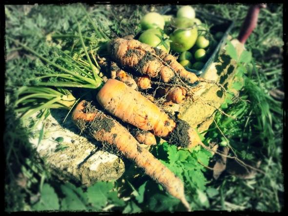 Karotten und Paradeiser