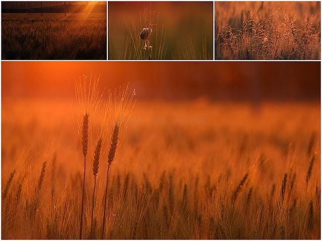 Lepljenka Pšenica sončni zahodmm - Kopija