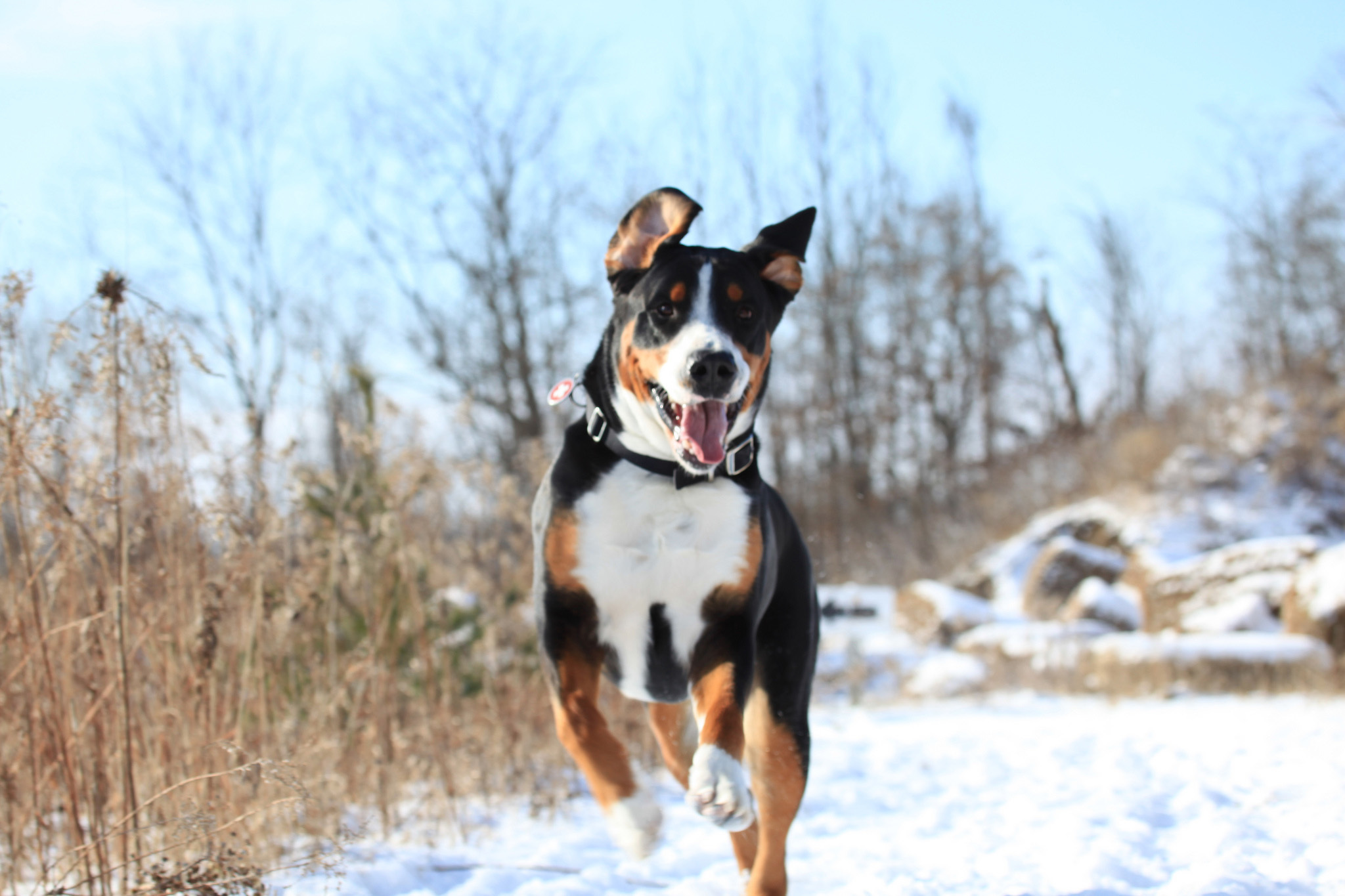 happy great swiss mountain dog running in the snow wallpapers and