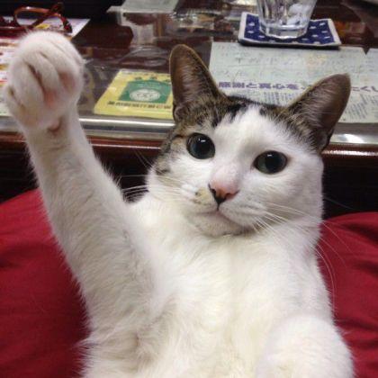 ガッツポーズを する猫