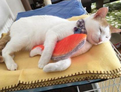 鮭を抱いて眠る猫