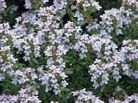 Thymus serphyllum - m. frdl. Genehmigung von Henriette Kress