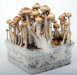 Magic Mushrooms in growkit growbox