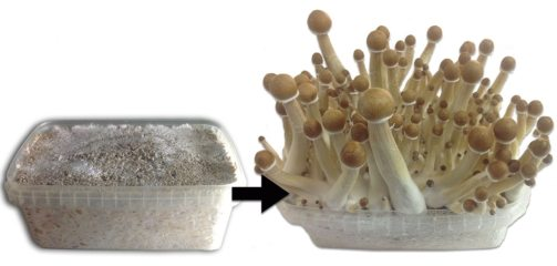 magic mushrooms growkit