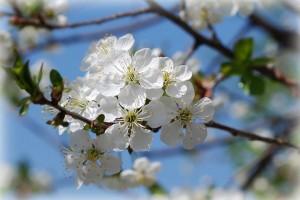 beautiful white flowers, innocence,