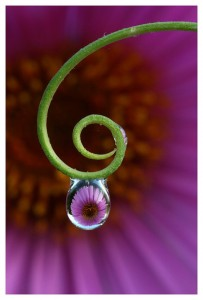 Flower reflected in a drop of water