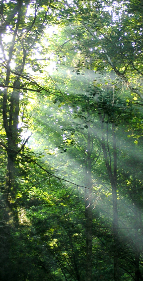 Sun rays through tall trees