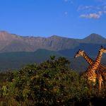 Giraffes in Arusha National Park, Tanzania