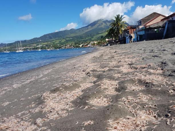 Crustacés échoués sur une plage à Saint-Pierre. Photo : réseaux sociaux.