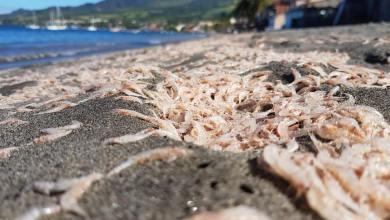 Photo of Des milliers de petites crevettes échouées sur une plage à Saint-Pierre