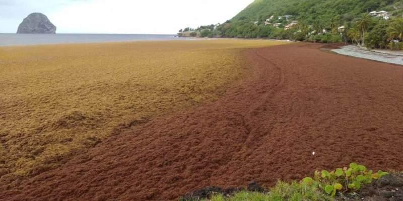 La plage de l'Anse Cafard au Diamant envahie par les algues sargasses (Vidéo)