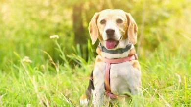Photo of Savoie : plusieurs chiens empoisonnés à la mort aux rats