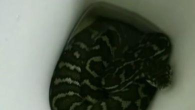 Photo of Une australienne mordue par un python alors qu'elle utilisait ses toilettes (VIDÉO)