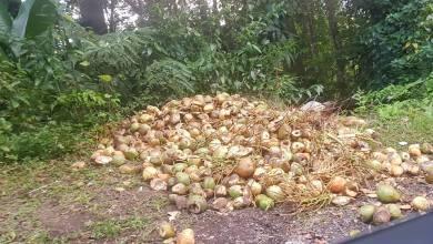 Photo of Des noix de coco déversées aux abords de la route de la Trace