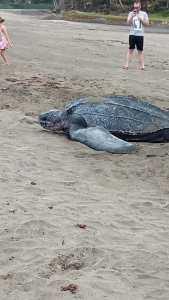 Martinique : Une tortue luth ponds ses œufs sur la plage du Tombolo - Vidéo 1
