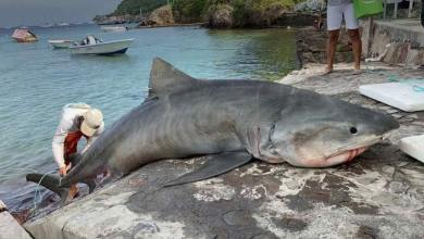 Photo of Guadeloupe : un requin tigre de 350 kg capturé avec une tortue dans l'estomac