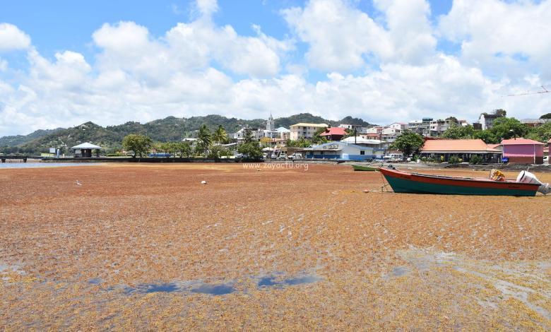Algues sargasses dans la baie du Robert. Photo : Ville du Robert