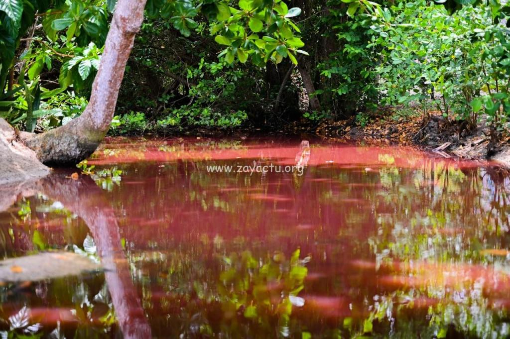 Anse Figuier mangrove rose