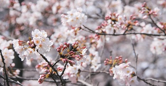 cherry-blossom-forecast-2015-february-sakura-1