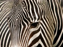 zebra-10