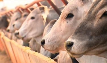 Rebanho bovino do Pará aumenta mais de 40 mil e alcança 20,6 milhões de cabeças