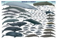 whales of the world-small